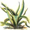 Agaven, Zeichnung, Pflanzen, Natur