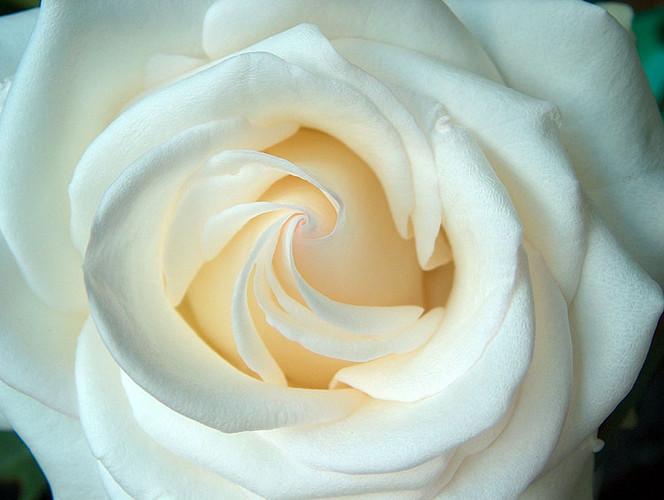 Fotografie, Rose
