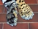 Jaguar, Zoo, Fotografie, Tatze