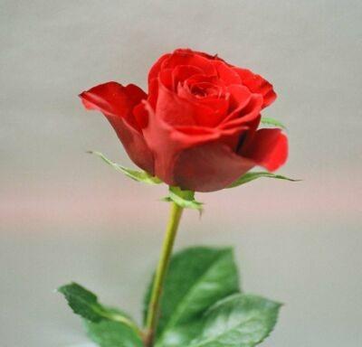 Fotografie, Stillleben, Rose, Rot