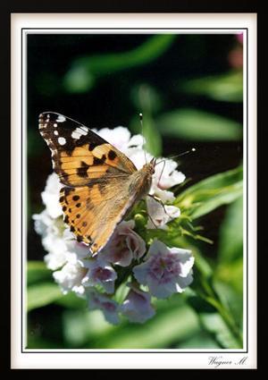 Fotografie, Toskana, Reiseimpressionen, Schmetterling, Distelfalter