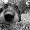 Hund, Nahaufnahme, Fotografie, Dackel