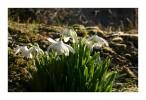 Fotografie, Märzenbecher, Frühling, Weiß