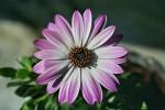 Weiß, Rosa, Blätter, Blumen