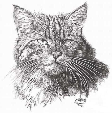 Katzenportrait, Katze, Zeichnungen, Portrait, Wildkatze