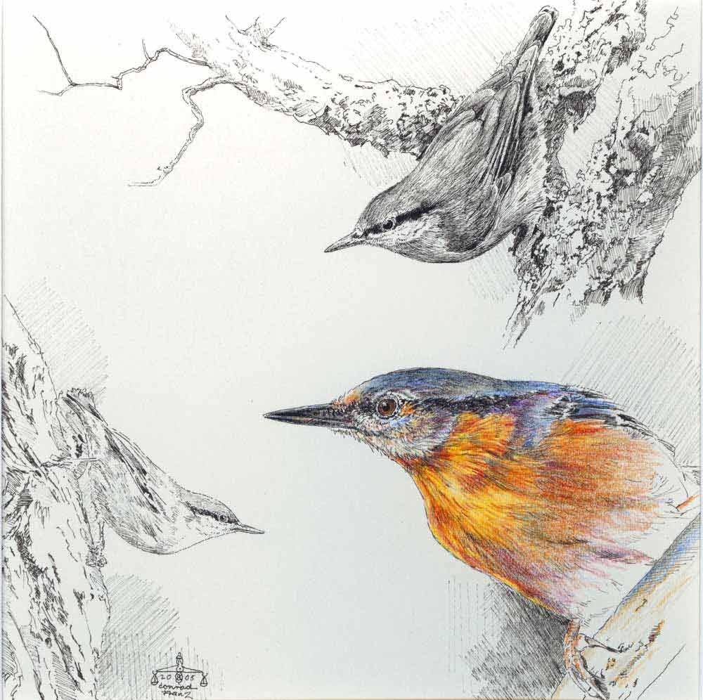 kleiberstudie  kleiber vogel zeichnungen von conrad