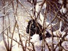 Winter, Amsel, Vogel, Malerei
