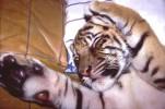 Katze, Tiger, Pinnwand