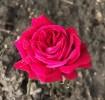 Fotografie, Rose, Pflanzen,