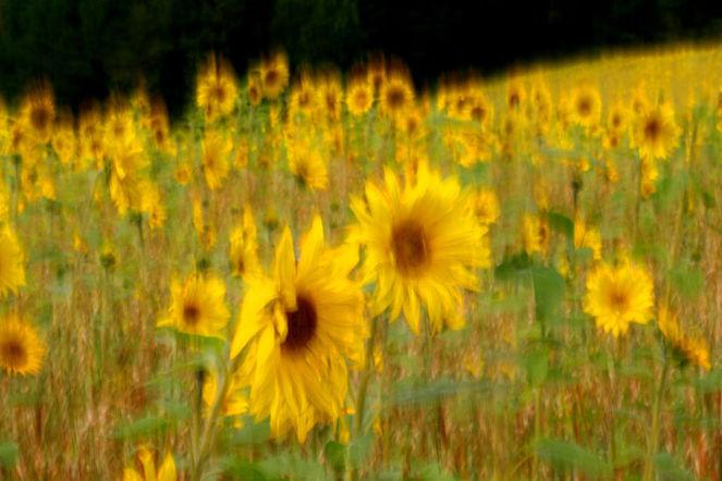 Sonnenblumen, Wischeffekt, Lichtmalerei, Verwischen, Lightpainting, Sommer