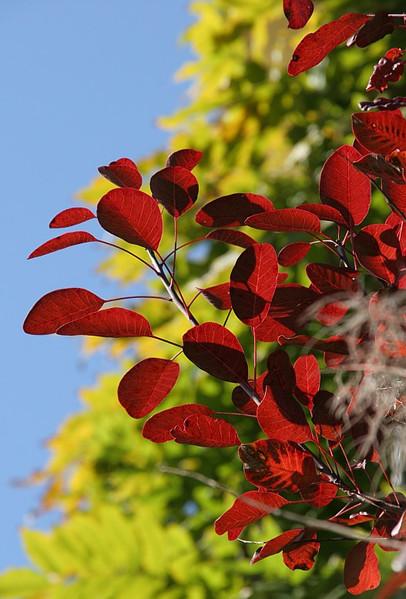 Strauch, Rot, Baum, Blau, Stillleben, Himmel