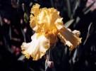 Fotografie, Stillleben, Iris, Blumen
