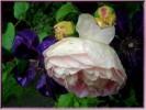 Fotografie, Garten, Rose, Regen