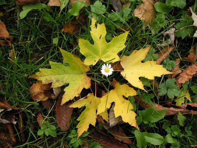Gänseblümchen, Herbst, Blüte, Landschaft, Blätter, Fotografie