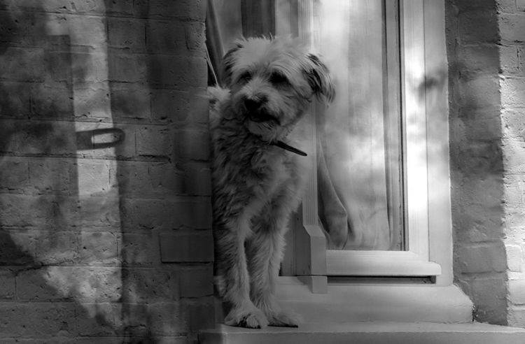 Tiere, Riegel, Hund, Schwarzweiß, Blick, Fenster