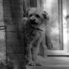 Hund, Riegel, Blick, Schwarzweiß