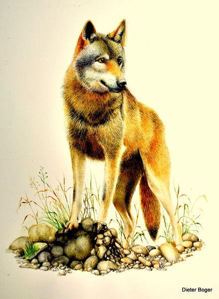 Aquarellmalerei, Tiere, Wolf, Aquarell