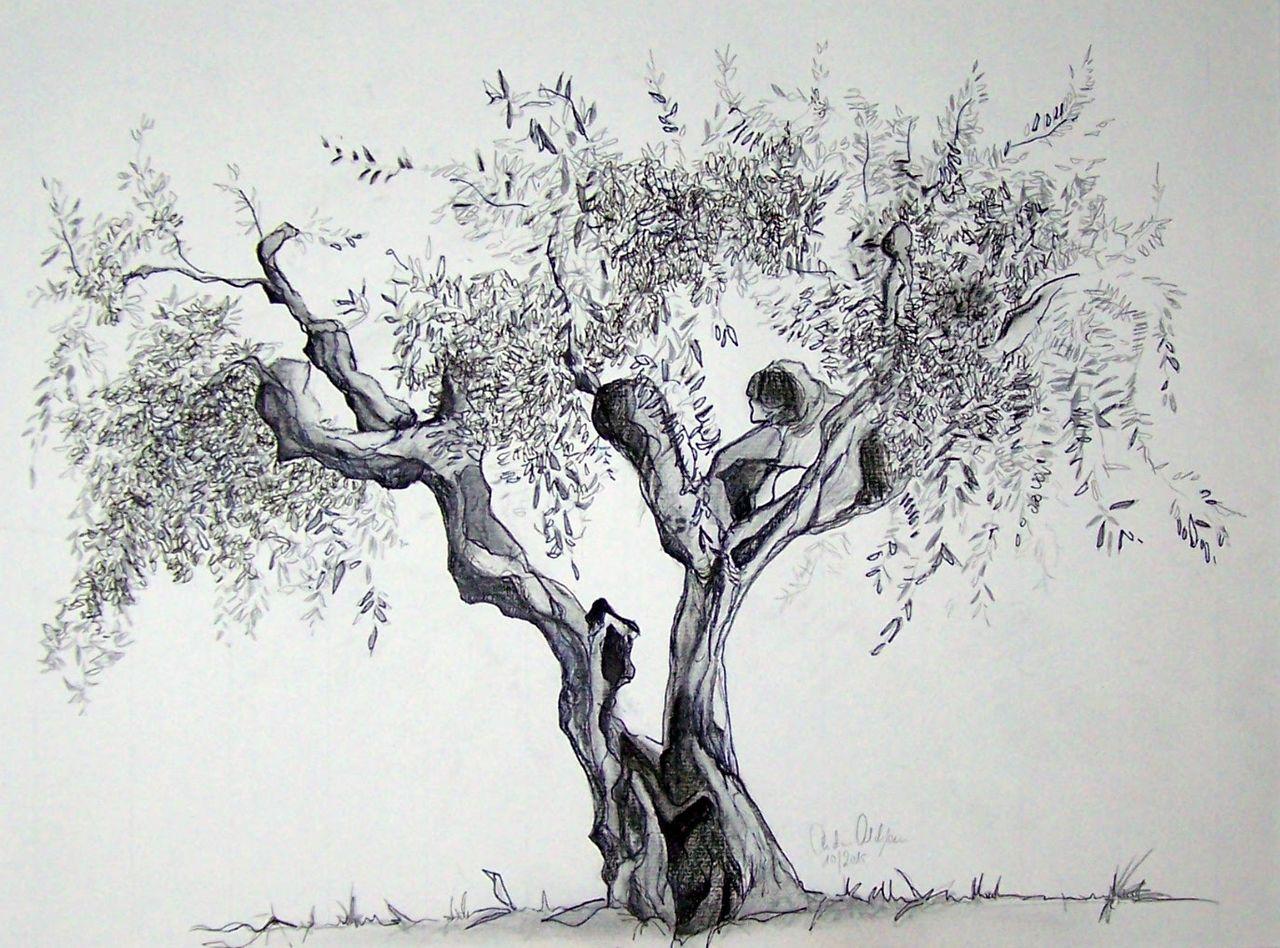 bild zeichnungen pflanzen olivenbaum italien von. Black Bedroom Furniture Sets. Home Design Ideas
