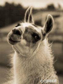 Fotografie, Lama, Tiere, Pinnwand