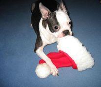 Boston terrier, Weihnachten, Weihnachtsmann, Mütze