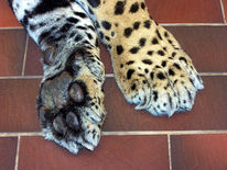 Fotografie, Tatze, Jaguar, Zoo