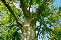 Fotografie, Landschaft, Baum, Eichen