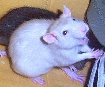 Ratte, Pinnwand,