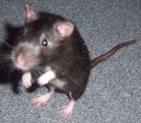 Iggy, Fotografie, Nagetier, Ratte