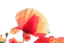 Fotografie, Blumen, Mohnblumen, Pflanzen