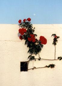 Wand, Fotografie, Sommer, Rose