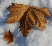 Schnee, Blätter, Fotografie, Braun