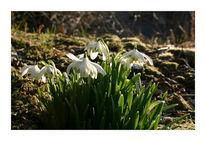 Weiß, Blüte, Fotografie, Märzenbecher