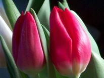 Fotografie, Landschaft, Tulpen