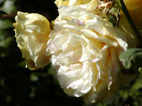 Hellgelbe, Rose, Fotografie