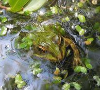 Grün, Wasser, Hüpfer, Wasserpflanzen
