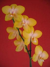 Gelb, Orchidee, Blumen, Landschaft