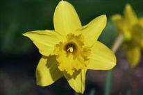 Ostern, Fotografie, Blumen, Gelb