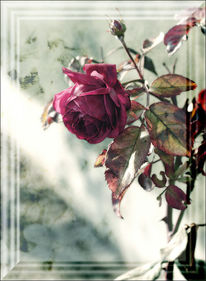 Fotografie, Grün, Rose, Blumen