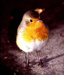 Vogel, Rotkehlchen, Pinnwand