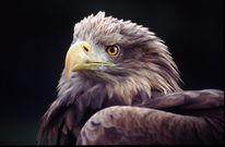 Vogel, Seeadler, Fotografie