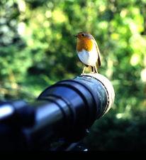 Vogel, Objektiv, Rotkehlchen, Pinnwand