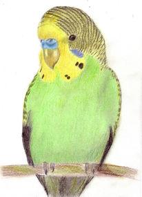 Zeichnung, Portrait, Zeichnungen, Wellensittich