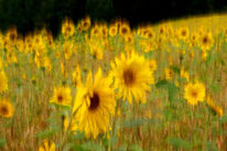 Sonnenblumen, Lightpainting, Sommer, Gelb