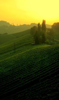 Rebe, Sonnenuntergang, Wein, Landschaft
