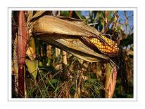 Kukurutz, Mais, Herbst, Stillleben