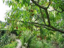 Baum, Fotografie, Sommer, Pfirsichbaum