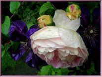 Rose, Fotografie, Garten, Regen