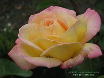 Stillleben, Fotografie, Rose