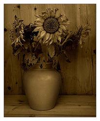 Sonnenblumen, Holz, Fotografie, Sepia