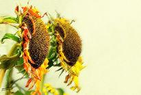 Digitale kunst, Blumen, Malerei, Sonnenblumen